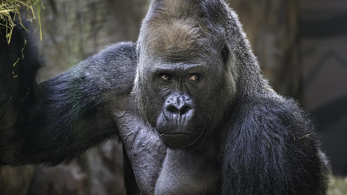 Il gorilla ce l'ha piccolo podcast di Vincenzo Venuto,